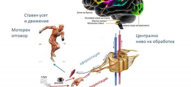 Сензомоторна система